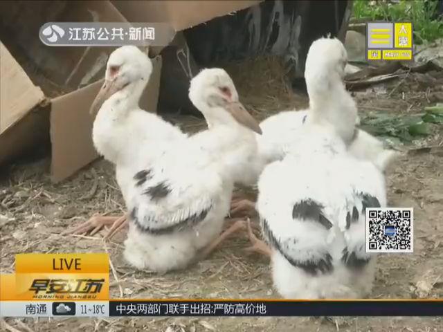 """江苏""""爱鸟周"""" 江苏有448种鸟类 幼鸟落难村民守护"""