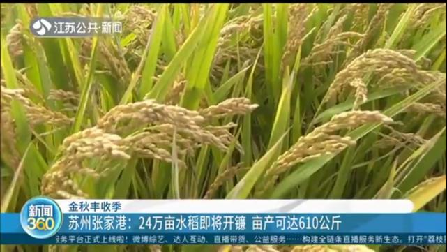 金秋丰收季 苏州张家港:24万亩水稻即将开镰 亩产可达610公斤