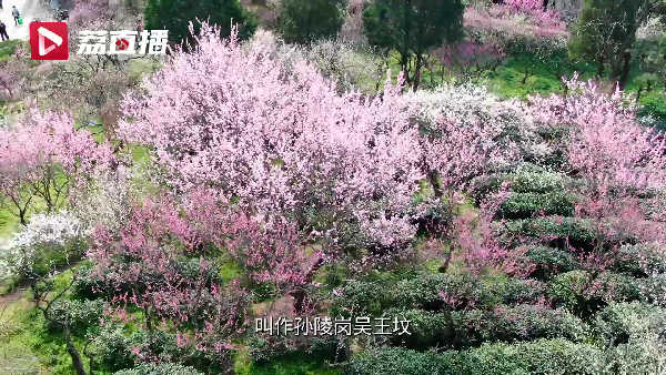 春天的味道!南京梅花山雨花茶自带梅花香气