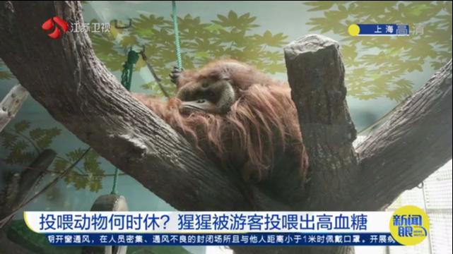 投喂动物何时休?猩猩被游客投喂出高血糖