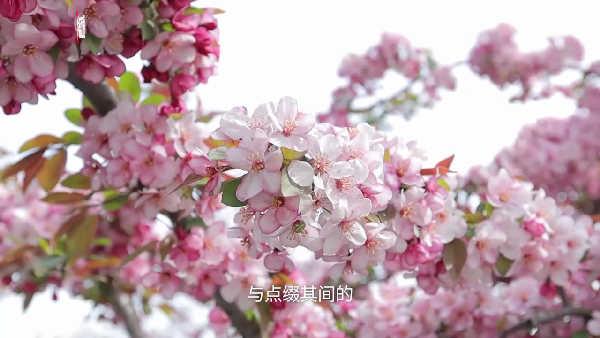 5万棵海棠美到让你忘了时光