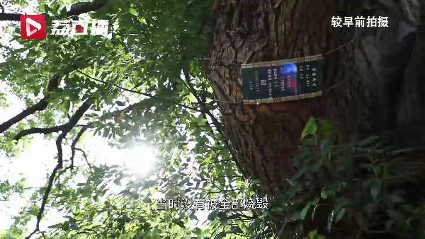 见证千年历史!#苏州明月湾古村有一棵千年香樟树