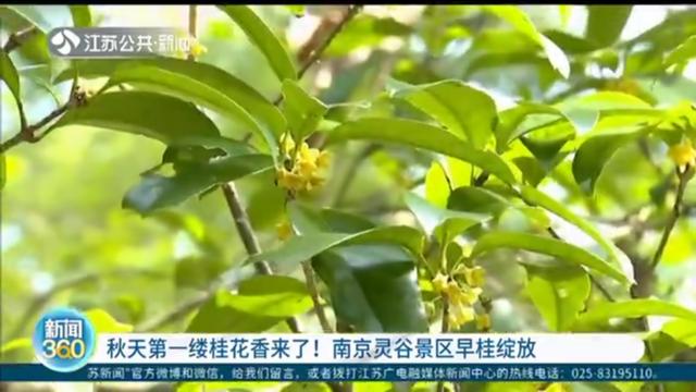 秋天第一缕桂花香来了!南京灵谷景区早桂绽放