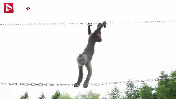 这种猴子的尾巴像是给自己上了保险带