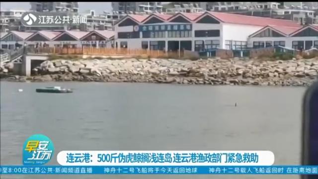 连云港:500斤伪虎鲸搁浅连岛 连云港渔政部门紧急救助