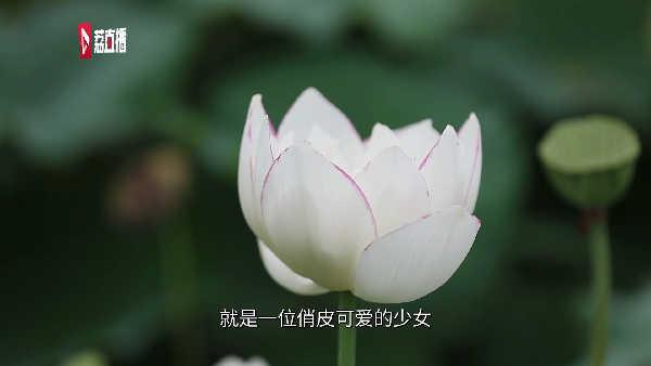 游遍江苏丨来南京六合欣赏国内颜色最纯正的黄色荷花